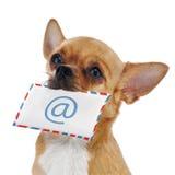 Красная собака чихуахуа с конвертом столба и e-мужчина значка изолированный дальше Стоковое Фото