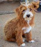 Красная собака Стоковое фото RF