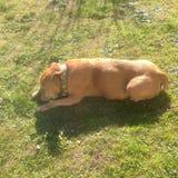 Красная собака Стоковое Фото