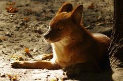 Красная собака Стоковые Изображения