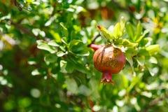 Красная спелая вениса на ветви Стоковое Изображение