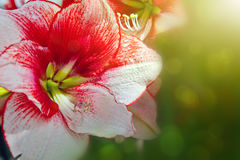Красная съемка макроса амарулиса Стоковое Изображение RF