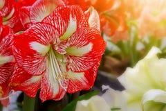Красная съемка макроса амарулиса Стоковое Фото