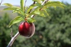 Красная слива на дереве Стоковая Фотография RF