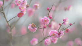 Красная слива цветет, в парке Showa Kinen, токио, Япония сток-видео