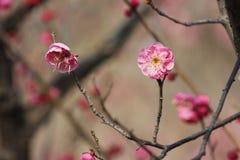 Красная слива blossoming в солнечном дне на зимний день Стоковые Изображения RF