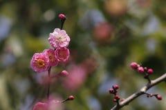Красная слива blossoming в солнечном дне Стоковая Фотография