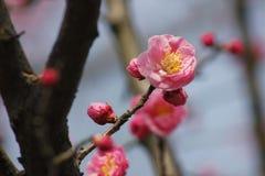Красная слива blossoming в солнечном дне Стоковое Изображение RF