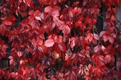 Красная текстура предпосылки ветви осени Стоковое Изображение RF