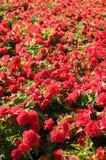 красная текстура роз Стоковое Изображение