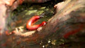 Красная тысяченожка в древесине Стоковая Фотография