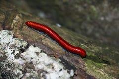 Красная тысяченожка Стоковые Изображения RF