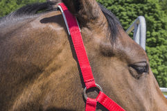 Красная уздечка для лошади Стоковая Фотография RF