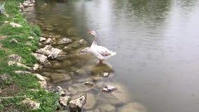 Красная утка носа в побережье озера на дождливом дне сток-видео