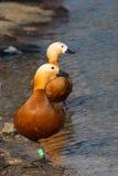 Красная утка румяное Shelduck птицы Стоковые Фото