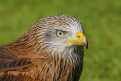 Красная хищная птица змея, milvis milvus стоковая фотография