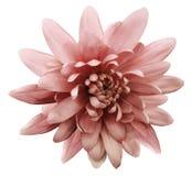 Красная хризантема цветка Цветок сада Предпосылка изолированная белизной с путем клиппирования closeup Отсутствие теней Стоковые Изображения