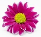 Красная хризантема Стоковые Фото