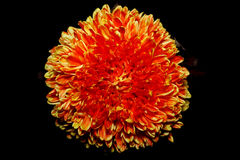 Красная хризантема стоковые изображения
