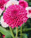 Красная хризантема Стоковая Фотография RF