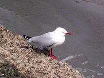 Красная чайка клюва Стоковое Изображение