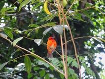 Красная экзотическая птица на дереве стоковые изображения rf