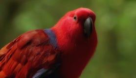 Красная экзотическая птица Стоковое Изображение RF