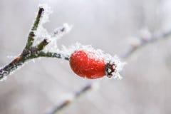 Красная ягода во время зимнего времени стоковая фотография rf