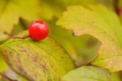 Красная ягода на лист осени Стоковые Изображения RF