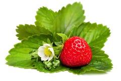 Красная ягода клубники с листьями и цветком зеленого цвета Стоковое фото RF