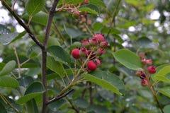 Красная ягода на ветви куста после дождя в парке Стоковая Фотография RF