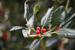 Красная ягода Стоковое Изображение