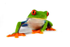 Красная лягушка глаза Стоковое фото RF