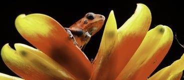 Красная лягушка Коста-Рика дротика отравы клубники Стоковое Изображение RF