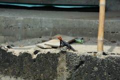 Красная ящерица шеи стоковые фото