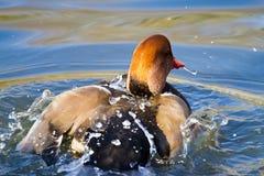 Красная Crested утка Стоковая Фотография