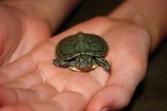 Красная Eared черепаха младенца слайдера Стоковое Изображение
