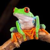 Красная eyed лягушка вала Стоковые Изображения