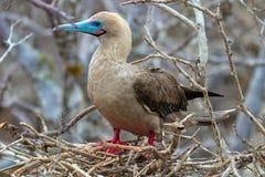 Красная Footed птица олуха на островах Галапагос стоковые фотографии rf