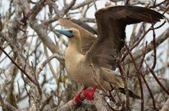 Красная Footed птица олуха на островах Галапагос стоковая фотография rf