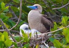 Красная Footed птица олуха с молодым цыпленоком на островах Галапагос стоковые фото