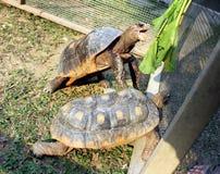 Красная footed черепаха с направлять рта широкий открытый для овощей Стоковое Изображение