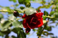 Красная gentle розовая в солнце Стоковые Изображения