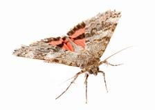 Красная underwing бабочка Стоковые Изображения