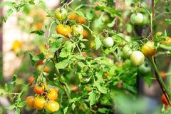 Краснея томаты Кетчуп на ветвях стоковая фотография