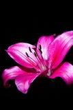 Красного цвета макрос lilly на черной предпосылке Стоковое фото RF