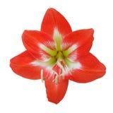 Красного цвета цветок lilly на изолированной белизне Стоковая Фотография RF