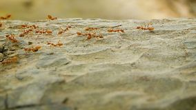 Красное движение муравьев вдоль коры дерева акции видеоматериалы
