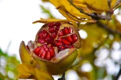 Красное гранатовое дерево на ветви Стоковые Фото