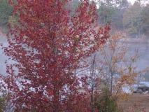 Красное дерево в тумане Стоковое Изображение